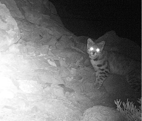 Con nueva tecnología monitorean al gato andino