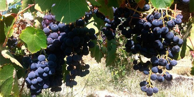 Certifican primera cepa vinífera autóctona de Chile en Tarapacá