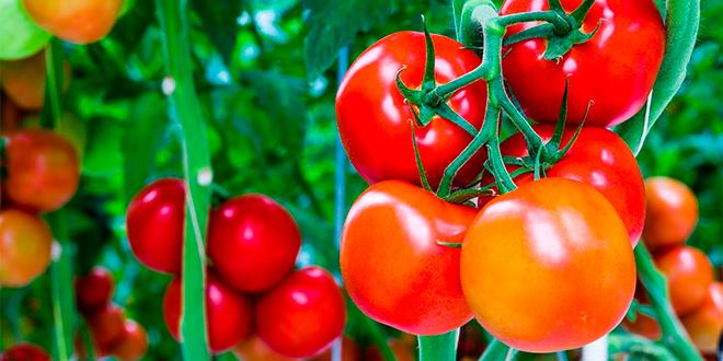 Aceitunas y tomates: principales productos agrícolas de Arica y Parinacota