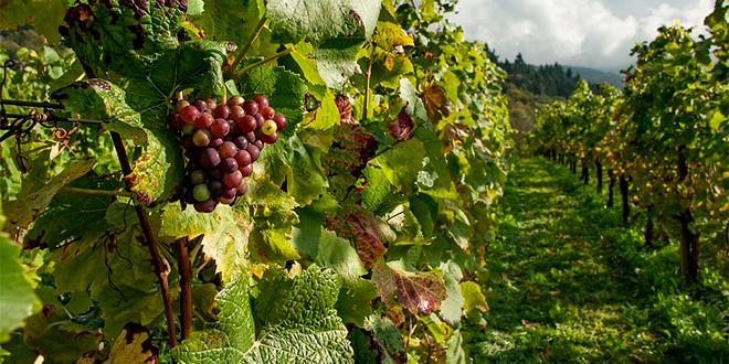 Viñas de Chile apoyarán desarrollo sustentable de pequeños productores vitícolas
