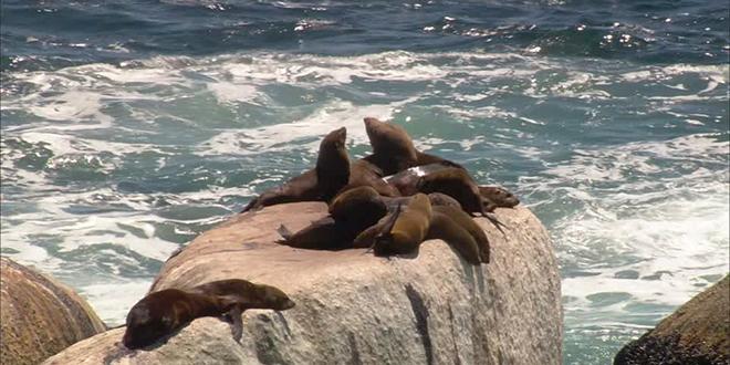 Recomiendan mantener distancia con lobos marinos en Puerto Montt