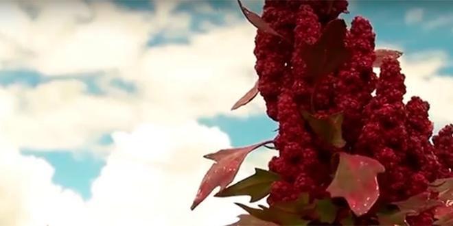 En VI Región investigan biopesticida a partir de polvillo de quinua