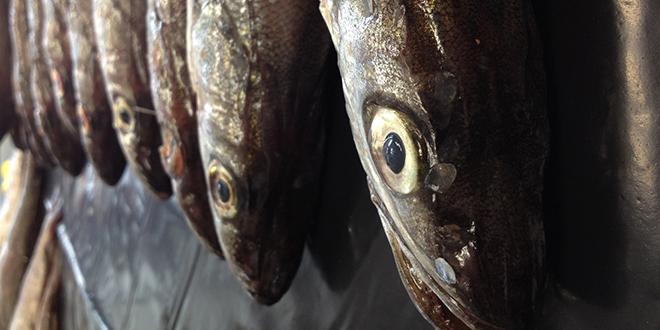 Pesca ilegal de merluza común llegaría a duplicar la cuota anual permitida