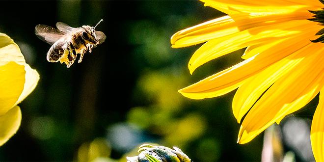 Desaparición de las abejas: ¿caminos de solución?