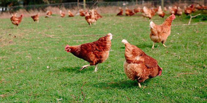 Huevos de gallinas libres… volver al origen