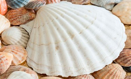 Impulsan reutilización de conchas de mariscos como biomaterial