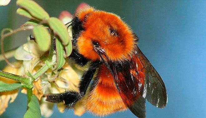 Especies exóticas amenazan sobrevivencia del único abejorro nativo de la Patagonia