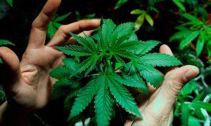 Sociedades científicas entregan carta a ministro de salud por Ley de Cannabis
