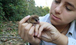 Uno de los marsupiales más pequeños del mundo está en Parque Oncol de Valdivia