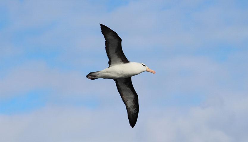 ¿Cuánto puede viajar un albatros?