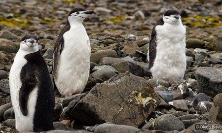 Presiones ambientales aumentarían la dispersión del pingüino barbijo