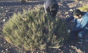 Investigan propiedades medicinales de plantas ubicadas en Región de Antofagasta
