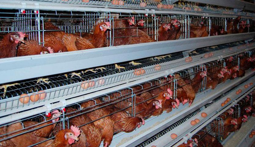 Javiera Mena adhiere a campaña contra crueldad en industria avícola