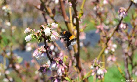 Científicos llaman a prohibir importación del abejorro europeo