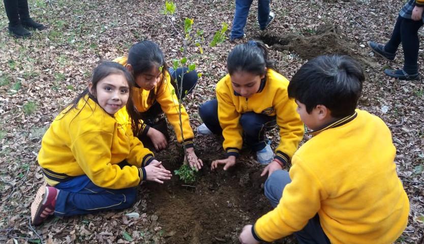 Escolares de Pucón plantan 600 quillayes para aprender el valor de los árboles nativos