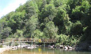 El ruil: un árbol único en el mundo presente en el Maule